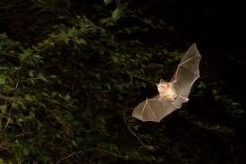 vampire bats facts diet u0026 habitat information