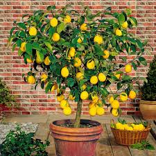 citrus trees for sale fast growing trees