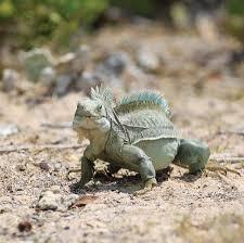 iguana island iguana island