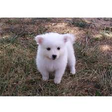 american eskimo dog puppies near me super cute puppies polyvore