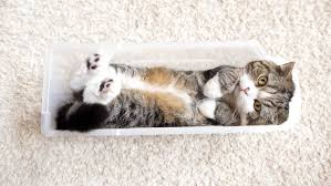 Cats In Small Spaces Video - video meet ludo the longest cat in the world guinness world