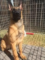 belgian malinois puppies 6 months best 25 malinois puppies for sale ideas on pinterest malinois