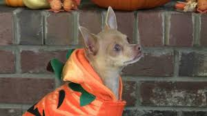 halloween funny dog tricks for treats youtube
