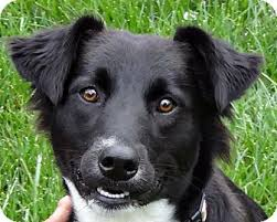 belgian sheepdog mixed with border collie tess adopted puppy indianapolis in border collie sheltie