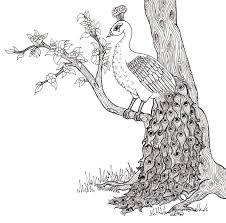 peacock drawing u2013 illustrations by keziahherbert