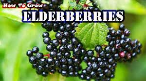 elderberry farms native plant nursery how to grow elderberries from cuttings gardening tips youtube