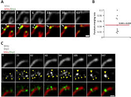 actin filaments target the oligomeric maturation of the dynamin