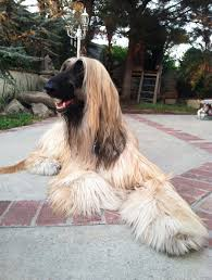 afghan hound therapy dog terre moshe and adar u2014 lifestyle tails