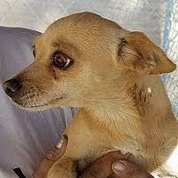 australian shepherd rescue las vegas north las vegas nv pet adoption dog rescue has dogs puppies