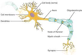 Parts Of A Tissue Parts Of A Neuron Nervous Tissue By Openstax Quizover Com