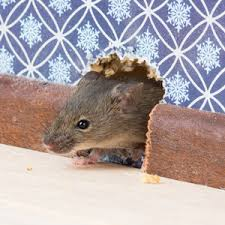 mouse mice rodent exterminator franklin and nashville