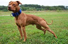 american pitbull terrier gotti razors edge the truth about pit bulls how much do you know about pit bulls