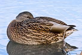 file female mallard duck rest jpg wikimedia commons