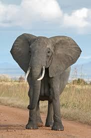 african elephant wikipedia