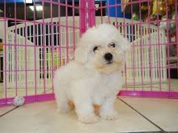 bichon frise puppy 8 weeks bichon frise puppies dogs for sale in gulfport mississippi