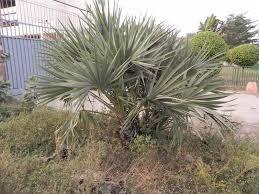 palmier du chili palmier éthiopien herbier numérique du mali
