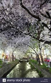 kyoto japan 1st april 2013 cherry blossom trees illuminated at