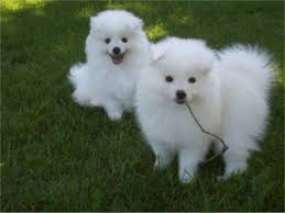 types of american eskimo dogs eskimo dog puppies for sale