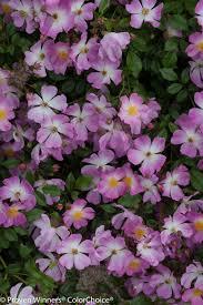 Fragrant Plants Oso Easy Fragrant Spreader Rose Rosa X Proven Winners