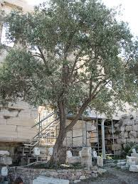 athena olive tree things about trees