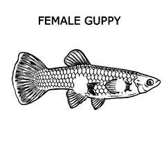 guppy fish aquarium colouring colouring tube