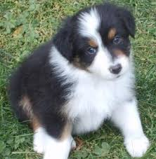 lifespan of australian shepherd 20 australian shepherd puppies that are so adorable you might just