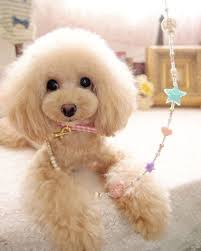 different toy poodle cuts 1402 best fell und pfote images on pinterest poodles standard