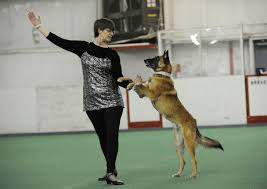 belgian shepherd national specialty following owner u0027s surgery belgian malinois steps into role of
