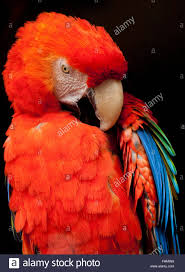 parrot scarlet mcaw in bright colors on black background preening