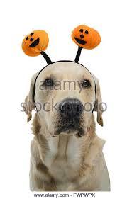White Dog Halloween Costume Dog Halloween Costume Vertical Stock Photos U0026 Dog Halloween