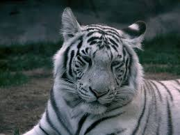 white tiger panthera tigris tigris animals a z animals