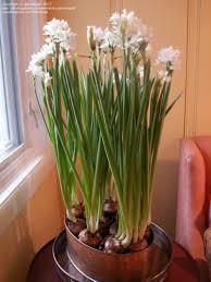 Fragrant Plants For Indoors Fragrant Houseplants