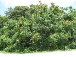 native plant plugs invasive trees go native long island