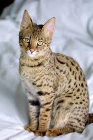 savannah cat the largest domestic cat u2013 pet radio magazine