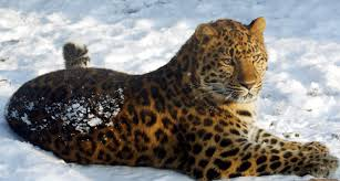 amur leopard highly endangered glorious beasts pinterest