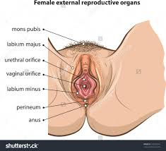 Female Sexual Anatomy Pictures External Female Reproductive System Diagram Human Anatomy Library