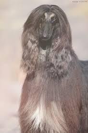 afghan hound national 2014 news 2014 archives kharasahnsky afghan hounds