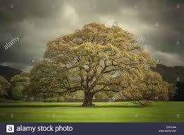oak a large oak tree stands in front of cumbrian