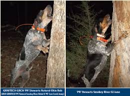 bluetick coonhound kennels in tennessee stewart u0027s ozark mtn blueticks
