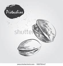 hand drawn chestnut isolated on white stock vector 599795663