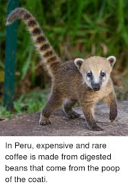 in peru expensive and rare coffee is made from digested beans that
