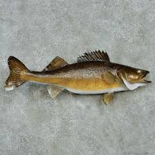 walleye taxidermy fish mount 13555 the taxidermy store