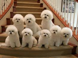 bichon frise 17 years old best 25 bichons ideas on pinterest bichon frise small dogs and