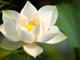 Lotus Flower Bloom - the story of the lotus flower with an open heart