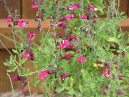 north texas native plants native roots autumn sage is an easy to grow small flowering