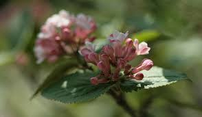Scented Flowering Shrubs - top fragrant flowers and shrubs for your garden