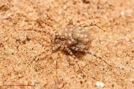 spider wikipedia