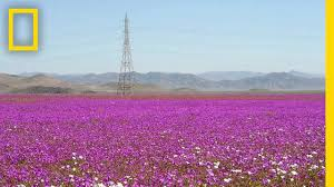 flower places see one of earth s driest places experience a flower boom