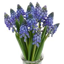 hyacinth flower hyacinth muscari blue october to december