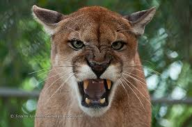 Florida Wild Animals images Florida panther wusf news jpg